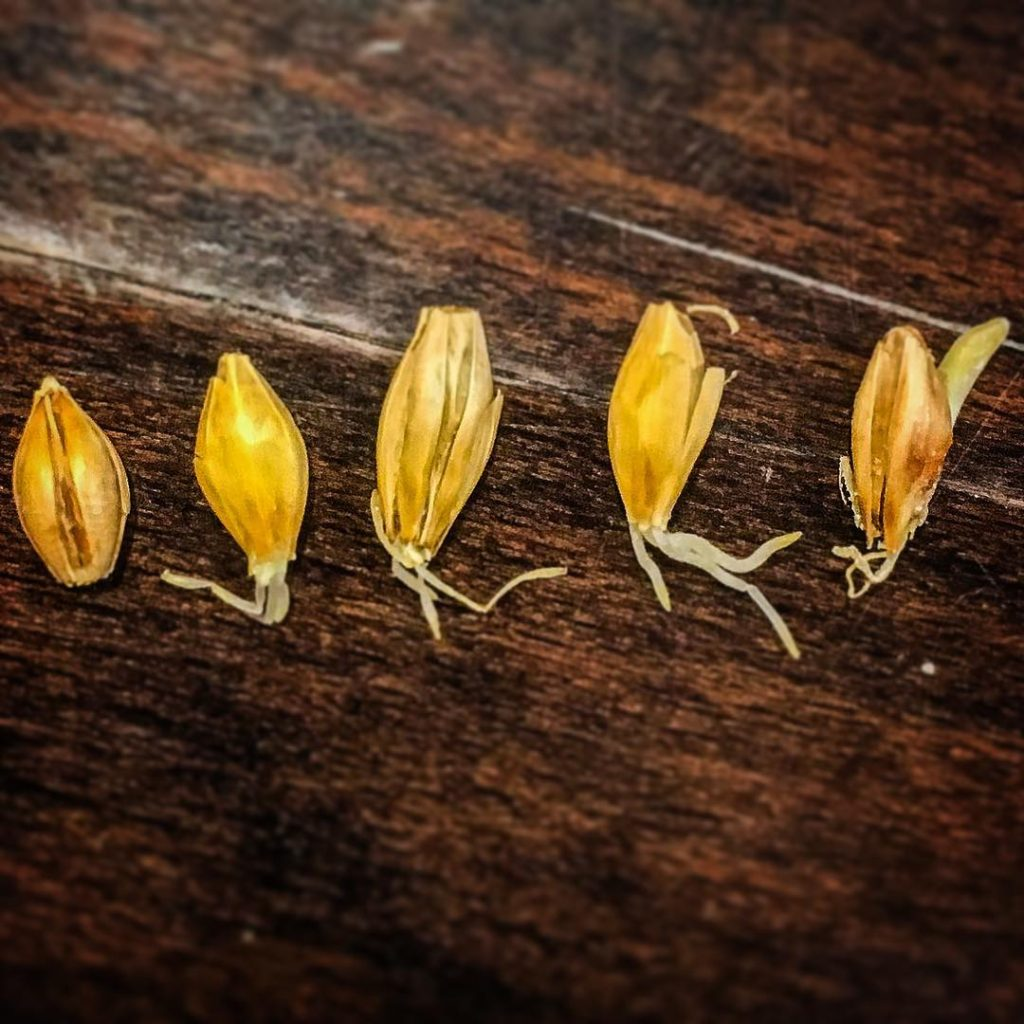 germination, malting, barley